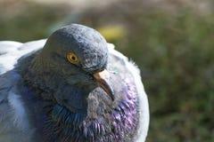 Primo piano della colomba fotografia stock