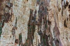 Primo piano della corteccia dell'eucalyptus Fotografia Stock