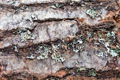 Primo piano della corteccia di albero Immagini Stock Libere da Diritti