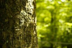Primo piano della corteccia di albero fotografia stock