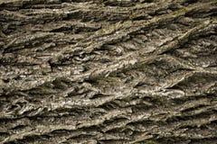 Primo piano della corteccia di albero ondulata ruvida immagine stock libera da diritti