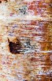 Primo piano della corteccia di betulla Fotografie Stock Libere da Diritti