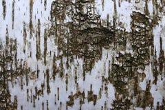 Primo piano della corteccia di betulla Struttura di legno Priorità bassa astratta di legno Superficie della betulla Fotografia Stock Libera da Diritti