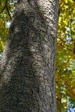 Primo piano della corteccia di quercia Fotografia Stock Libera da Diritti