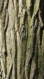 Primo piano della crosta del tronco di albero fotografia stock libera da diritti