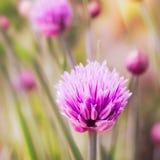 Primo piano della erba cipollina di fioritura Fotografie Stock Libere da Diritti