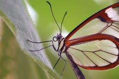 Primo piano della farfalla Immagine Stock Libera da Diritti