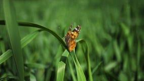 Primo piano della farfalla arancio su un'erba in un giardino in un giorno soleggiato video d archivio