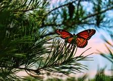 Primo piano della farfalla di monarca Fotografie Stock