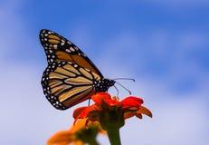 Primo piano della farfalla di monarca immagini stock libere da diritti