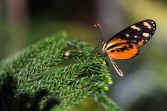 Primo piano della farfalla di monarca Immagine Stock