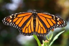 Primo piano della farfalla di monarca con la diffusione delle ali Fotografia Stock