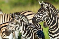 Primo piano della fauna selvatica delle zebre Fotografia Stock