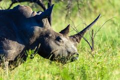 Primo piano della fauna selvatica di rinoceronte Fotografia Stock Libera da Diritti