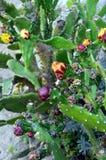Primo piano della fine del fico d'india su con frutta nelle spine dorsali del cactus di colore rosso Fotografia Stock