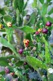Primo piano della fine del fico d'india su con frutta nelle spine dorsali del cactus di colore rosso Fotografia Stock Libera da Diritti