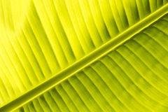 primo piano della foglia della banana Immagini Stock Libere da Diritti