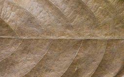 Primo piano della foglia di Brown Foto di macro di struttura della foglia di autunno Modello giallo della vena della foglia Immagine Stock