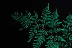 Primo piano della foglia verde della felce isolata su fondo nero fotografia stock