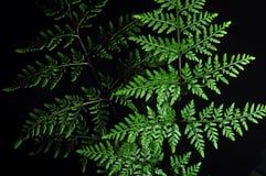Primo piano della foglia verde della felce isolata su fondo nero fotografia stock libera da diritti