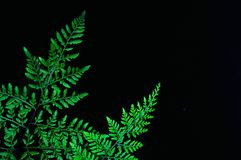 Primo piano della foglia verde della felce isolata su fondo nero immagini stock