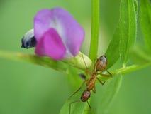 Primo piano della formica sui fiori fotografia stock libera da diritti