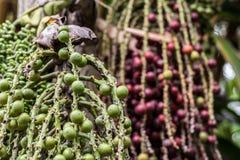 Primo piano della frutta del caffè nell'azienda agricola e nelle piantagioni del caffè sull'isola di Bali, Indonesia Chicchi di c Immagini Stock Libere da Diritti