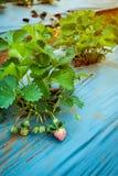 Primo piano della frutticoltura organica non matura della fragola sulla piantagione Fotografia Stock