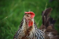 Primo piano della gallina Immagine Stock Libera da Diritti