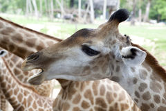 Primo piano della giraffa Fotografie Stock