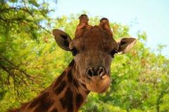 Primo piano della giraffa Fotografie Stock Libere da Diritti