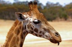 Primo piano della giraffa Immagine Stock Libera da Diritti