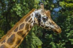 Primo piano della giraffa nel profilo Fotografie Stock Libere da Diritti