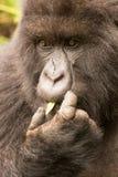 Primo piano della gorilla che si alimenta in foresta Fotografie Stock Libere da Diritti