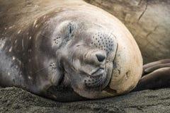 Primo piano della guarnizione di elefante addormentato sulla spiaggia Fotografia Stock Libera da Diritti