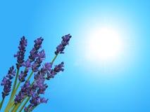 Primo piano della lavanda su cielo blu soleggiato Immagine Stock