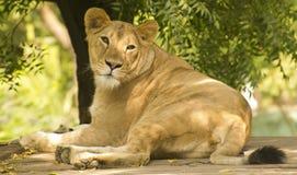 Primo piano della leonessa Fotografia Stock Libera da Diritti