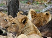 Primo piano della leonessa nella savanna Fotografia Stock