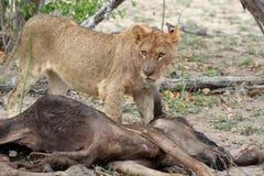 Primo piano della leonessa vicino alla sua preda dopo avere cercato Fotografie Stock Libere da Diritti