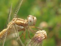 Primo piano della libellula fotografie stock