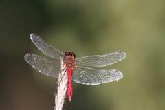 Primo piano della libellula Immagini Stock