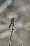 Primo piano della libellula Fotografia Stock Libera da Diritti