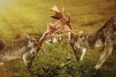 Primo piano della lotta dei cervi Immagine Stock Libera da Diritti