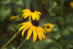 Primo piano della margherita gialla in giardino Immagini Stock