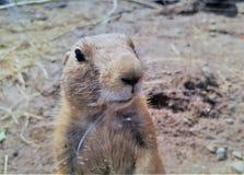 Primo piano della marmotta Fotografia Stock