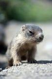 Primo piano della marmotta del bambino Fotografie Stock