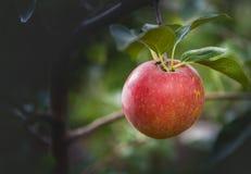 Primo piano della mela rossa su un ramo in un frutteto Immagini Stock Libere da Diritti
