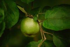 Primo piano della mela verde su un ramo fotografia stock
