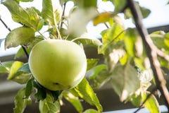 Primo piano della mela verde su un ramo pronto ad essere raccolto fotografie stock libere da diritti