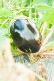 Primo piano della melanzana organica di forma rotonda Fotografia Stock
